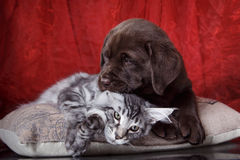 Labrador puppy and kitten breeds Maine Coon Stock Images