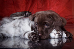 Labrador puppy and kitten breeds Maine Coon Royalty Free Stock Photos