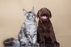 Labrador puppy and kitten breeds Maine Coon Stock Photos