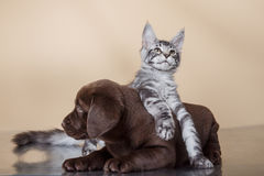 Labrador puppy and kitten breeds Maine Coon. Cat and dog Stock Photo