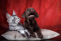 Labrador puppy and kitten breeds Maine Coon Stock Image