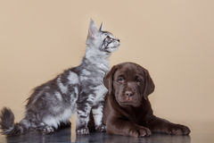 Labrador puppy and kitten breeds Maine Coon Royalty Free Stock Photo