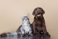Labrador puppy and kitten breeds Maine Coon Royalty Free Stock Images