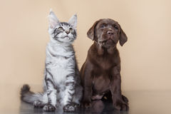 Labrador puppy and kitten breeds Maine Coon Royalty Free Stock Photography
