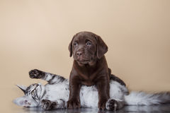 Labrador puppy and kitten breeds Maine Coon. Cat and dog Stock Photos