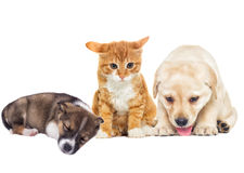 Labrador puppy and kitten Royalty Free Stock Images