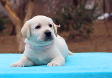 Labrador puppy laying on the blue background Stock Image