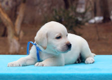Labrador puppy laying on a blue background Royalty Free Stock Photos