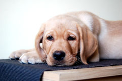Labrador puppy laying down Stock Image