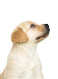 Labrador puppy looking up Royalty Free Stock Images