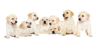 Labrador puppy, looking stock images