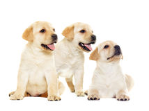 Labrador puppy, looking Royalty Free Stock Image