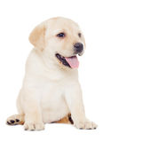 Labrador puppy, looks Royalty Free Stock Photography