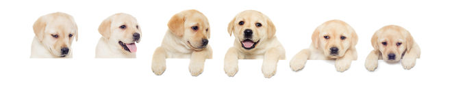 Labrador puppy, looks Stock Photo