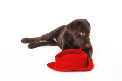 Labrador puppy lying with a   hat on a white background Royalty Free Stock Image