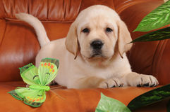 Labrador puppy lying on leather sofa Stock Images