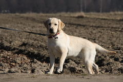 Labrador Royalty Free Stock Photos