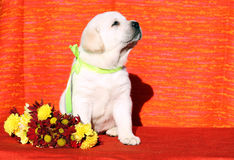 A labrador puppy on the orange background Royalty Free Stock Photo
