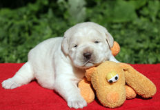 Labrador puppy with orange toy Royalty Free Stock Images