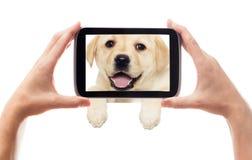 Labrador puppy peeking Stock Photo