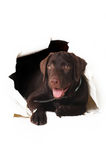Labrador puppy peeping out of a hole in the white paper Stock Images