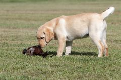 Labrador puppy with pheasant Stock Images