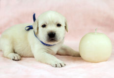 Labrador puppy on the pink background with a candle Stock Photo