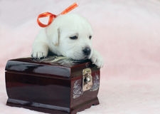 Labrador puppy on the pink background with a casket Stock Photography