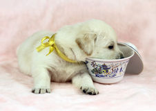 Labrador puppy on the pink background with a cup Royalty Free Stock Photography