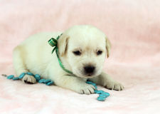 Labrador puppy on the pink background with turquoise bead Stock Photos