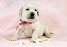 Labrador puppy on the pink background with white beads Stock Photo