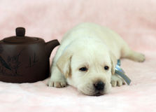 Labrador puppy on the pink background Stock Image