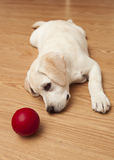 Labrador Puppy playing Royalty Free Stock Images