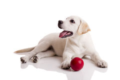 Labrador Puppy playing stock photos