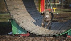 Labrador puppy. Playing stock image
