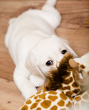 Labrador puppy playing with giraffe toy Royalty Free Stock Photo