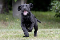 Labrador puppy playing Royalty Free Stock Photos