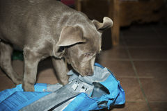 Labrador puppy. Playing with plastic bag Stock Photography
