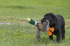 Labrador puppy playing. With puppets of animals Stock Photos