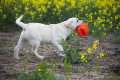 Labrador puppy playing with red ball Royalty Free Stock Images