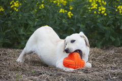 Labrador puppy playing with red ball Stock Photos