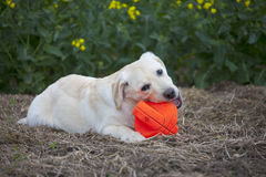 Labrador puppy playing with red ball Royalty Free Stock Photos