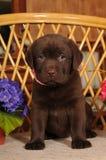 Labrador puppy portrait Royalty Free Stock Photography