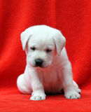 Labrador puppy on a red background Stock Image