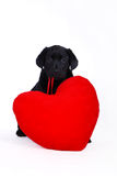 Labrador puppy with red heart stock images