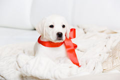 Labrador puppy with red ribbon on his neck Royalty Free Stock Photos