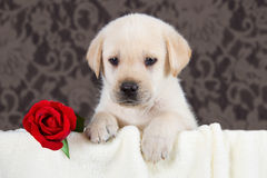 Labrador puppy with red rose in blanket Stock Photography