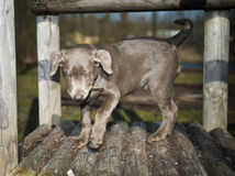 Labrador puppy. When retrieving Royalty Free Stock Photo