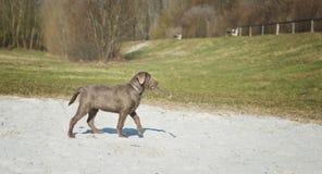 Labrador puppy. When retrieving Stock Photos