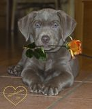 Labrador puppy. With rose in mouth Royalty Free Stock Photos